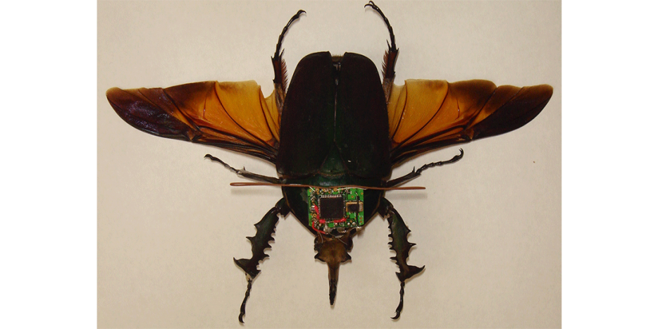Beetle implanted with microcontroller